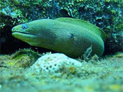 grenada dive site moray